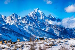 Elk View the Tetons